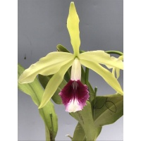 C.teneblossa fma.aurea